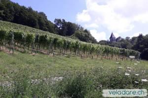 Weinberg am Weinwanderweg Weinfelden