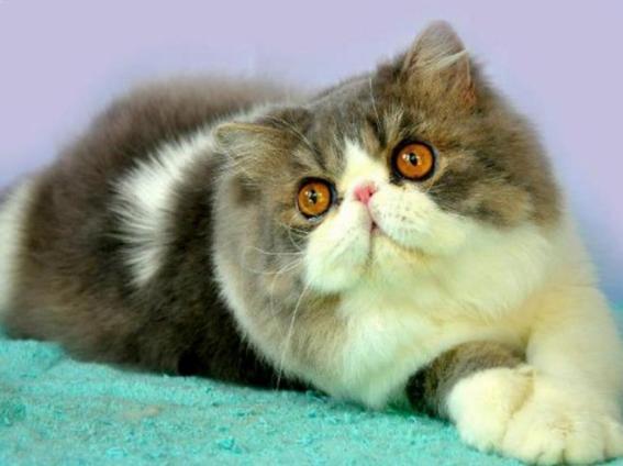 Peaknose kucingpedia