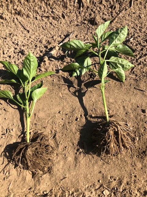 Pepper - left control, right treated with ACF-SR.