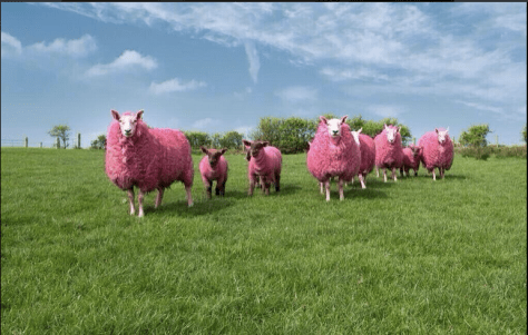 pink sheep Giro 2014