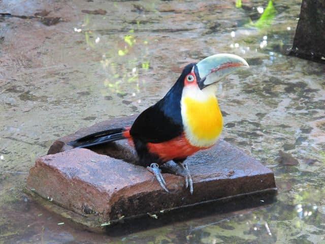 toucan-parque-das-aves-photo