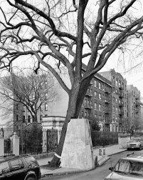 American Elm, Eastern Parkway, Brooklyn, 2012