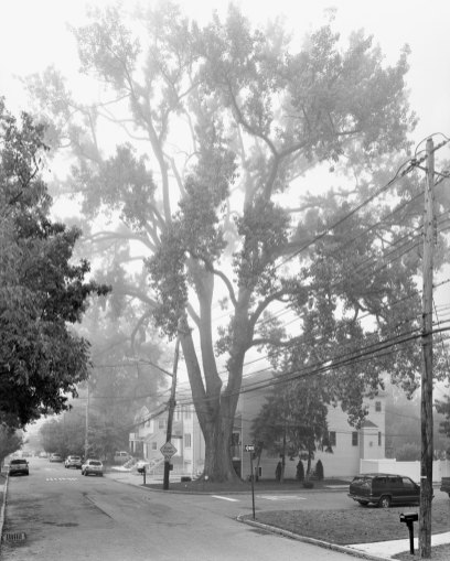 Eastern Cottonwood, Sprague Avenue, Staten Island II, 2011