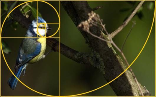 Photo recadrée grâce à la spirale de Fibonacci sur la mésange bleue (© Elena Duvernay) | Vendre ses photos en ligne