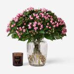 Bouvardia Pink Fresh 20 Flower, Venera Flowers, online flower delivery dubai