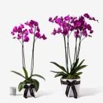 Orchid20Purple20Plant20Venera20flowers201 1