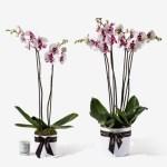 Orchid20White20Plant20Venera20flowers201 1