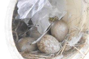 スズメの卵