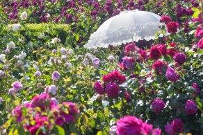 バラ庭園と白い日傘