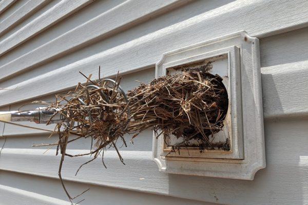 bird nest in a winston dryer vent