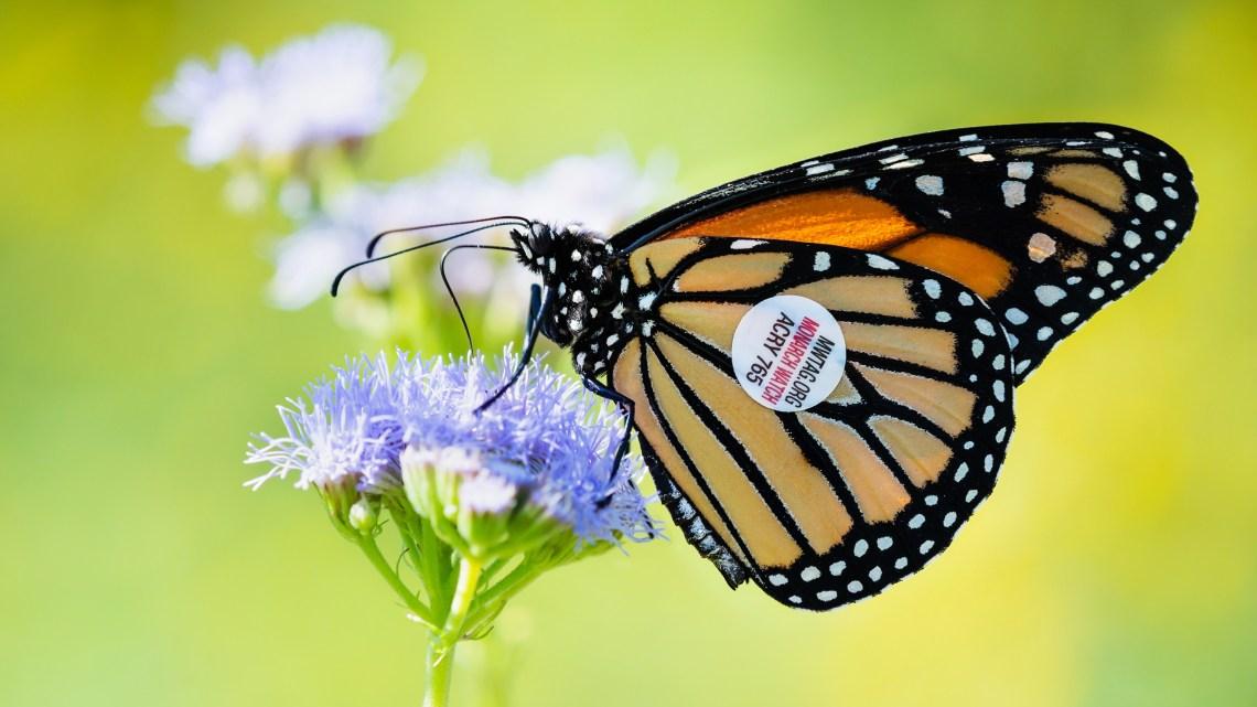 Lo spettacolare volo delle farfalle monarca è in pericolo!