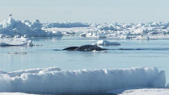 Gli unicorni esistono: vivono tra i ghiacci polari