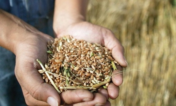 О важности очистки зерна от примесей