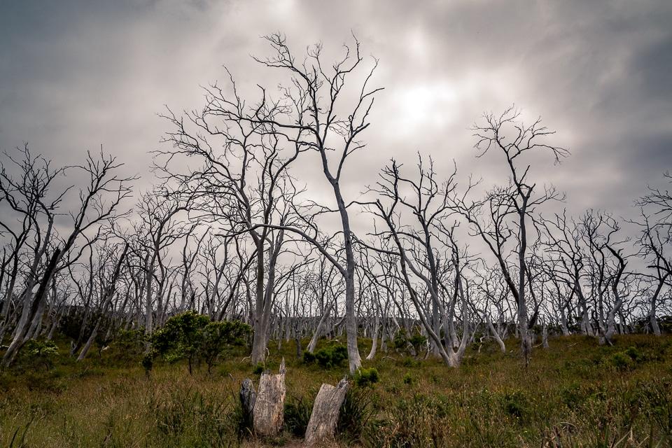 arbres morts cap otway