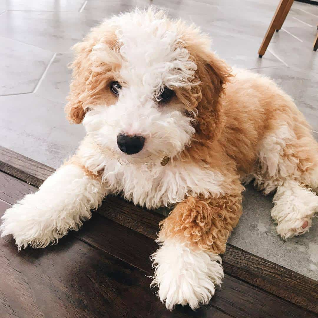 Ten Things You Should Know About Bernedoodle