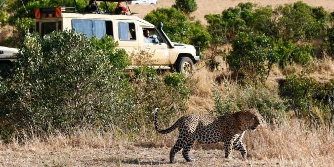 Photo of a leopard captured during game drives in Masai Mara by AjKenyasafaris.com