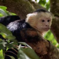 05_spy_on_playful_whitefaced_capuchins