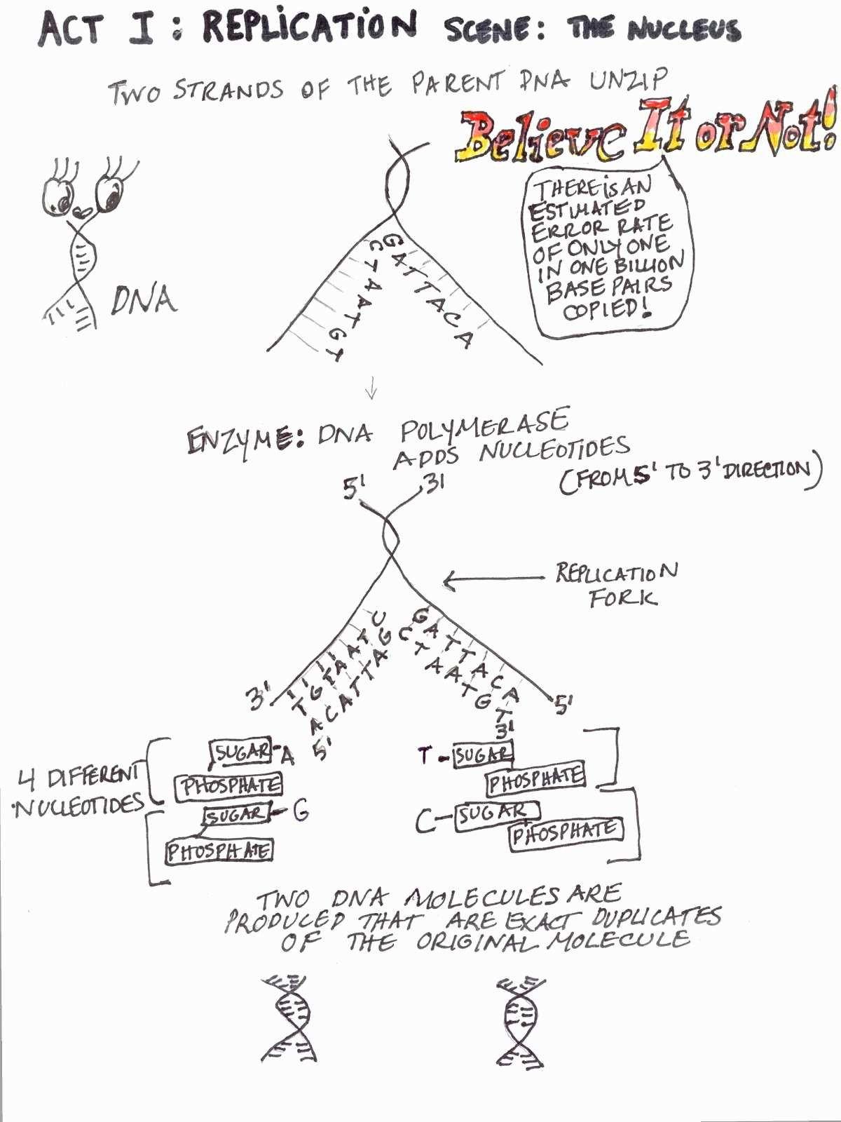 Dna Replication Coloring Worksheet