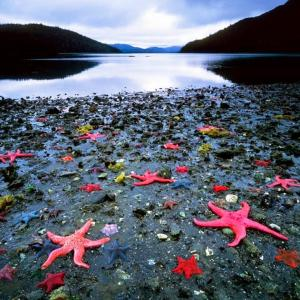 There are going to be many starfish to throw back into the sea