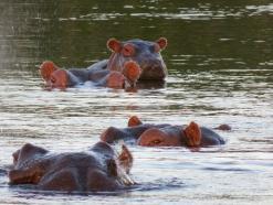Baby hippo hitching a ride down the Zambezi