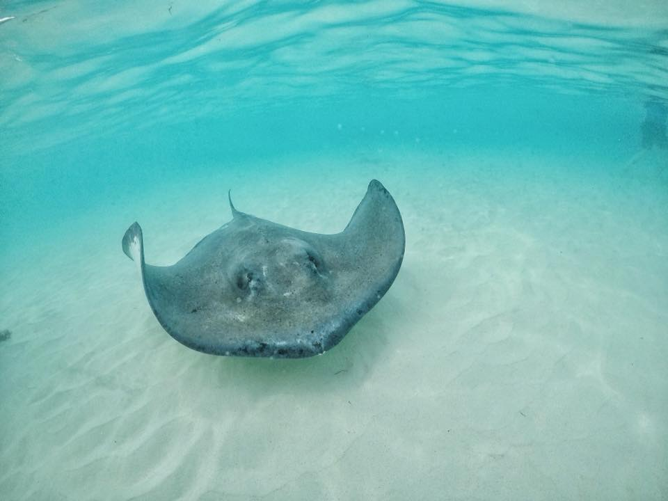 An Atlantic Sting Ray Swims Across The Sand At Sting Ray City