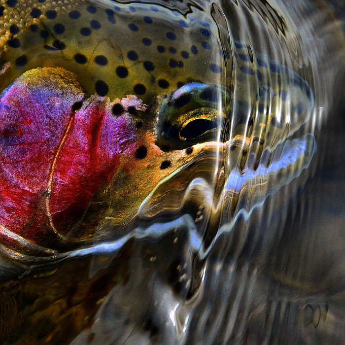 Rainbow Trout Michael Stack
