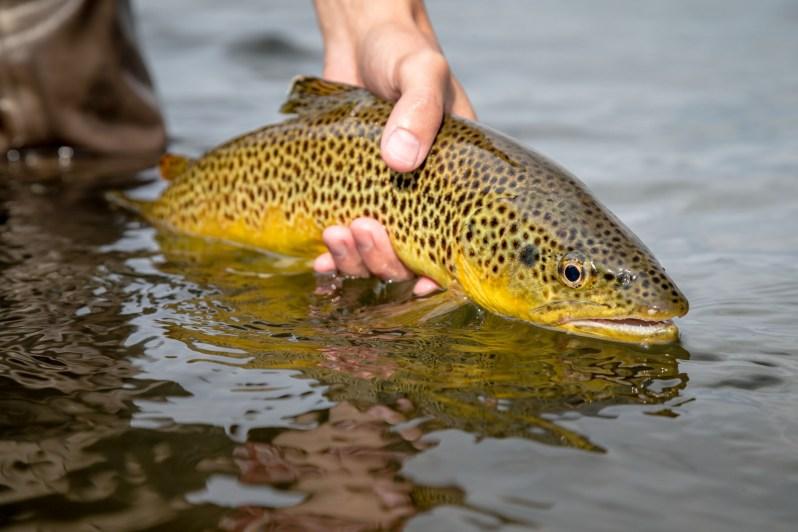 Montana Bighorn trout