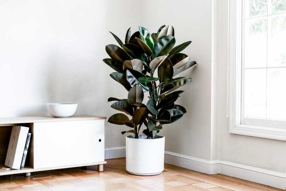 rubber tree in a pot