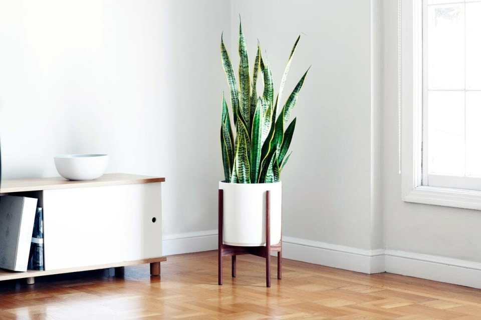 snake plant best plant for apartment