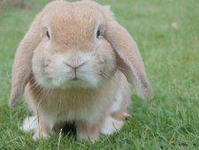 Een konijn als ideale huisdier