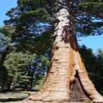 Image of Giant Sequoia