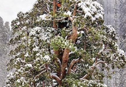 Najstarije drvo sekvoje u Sjera Nevadi