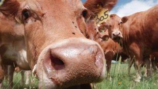 bolest ludih krava