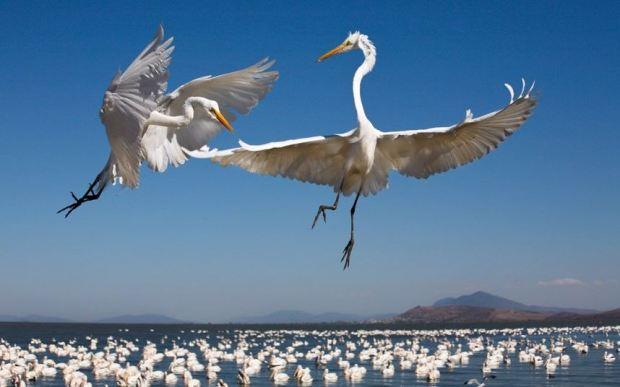 hungry egrets