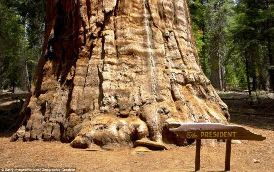 The President is the hugest tree in the world when judged on bio-mass