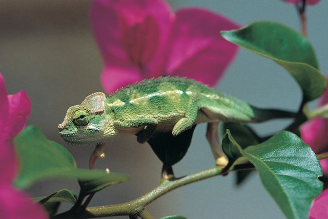 Lyriocephalus scutatus. Imagen: UICN - Ruchira Somaweera