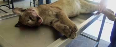 Puma atropellado en la autopista Durango - Mazatlán. Foto: Profepa