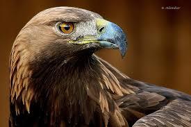 Águila Real. Foto de Conabio