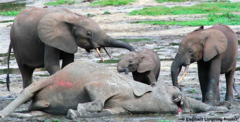Caza de elefantes para el comercio de marfil