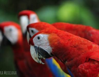 Guacamaya de la Selva Lacandona