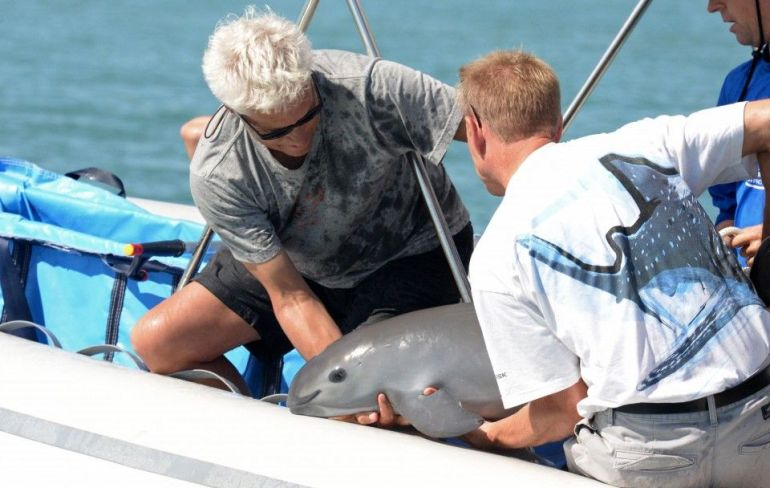 Vaquita marina en peligro inminente extinción en el Golfo de California, México