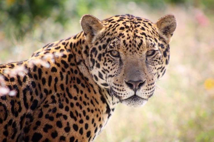 Crédito de la imagen: Jaguares en la Selva