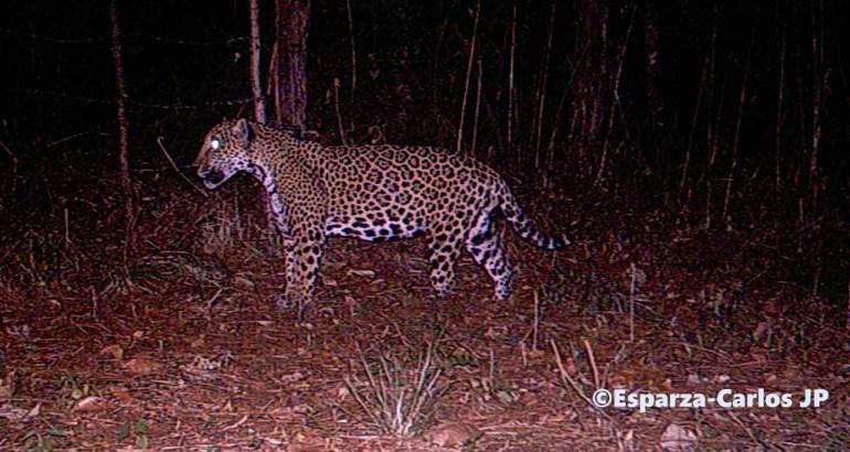 Jaguar en la Sierra de Manantlán. Foto: Juan Pablo Esparza