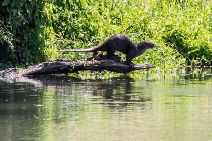 La nutria es considerada un depredador tope de los ecosistemas dulceacuícolas. (Foto: José Cruz Gómez Llamas)
