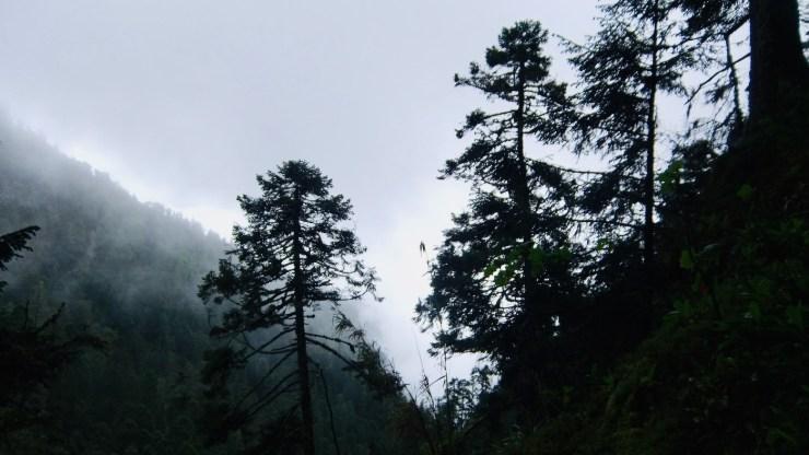 Abetos del Nevado de Colima. Foto: Agustín del Castillo