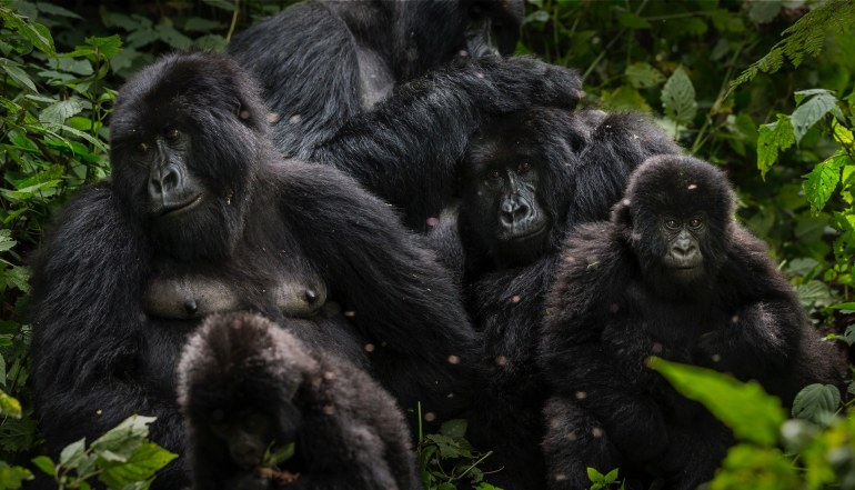 Parque Nacional Virunga Gorilas