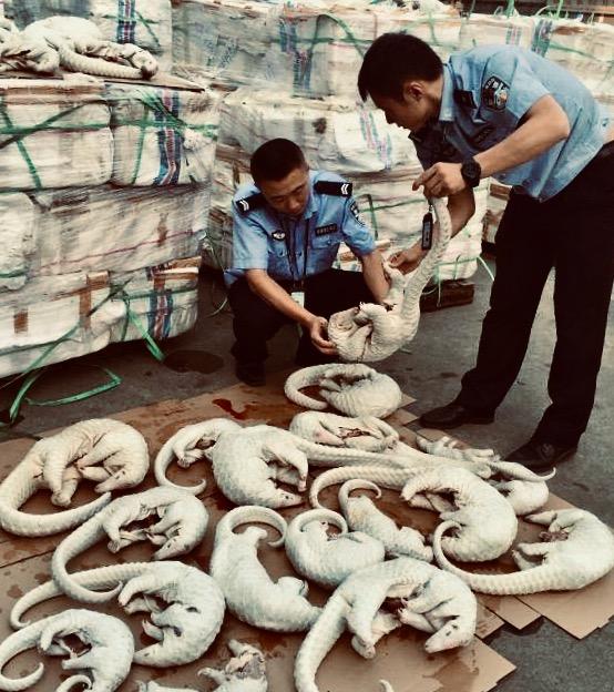 Oficiales de policía de Guangdong, China incautaron 2.674 pangolines en 2015