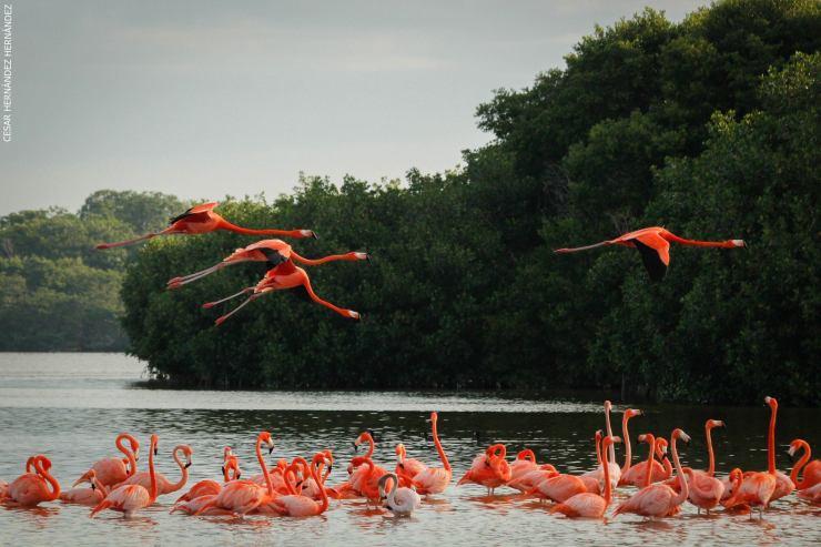 Flamingos rosados. Foto: Conanp