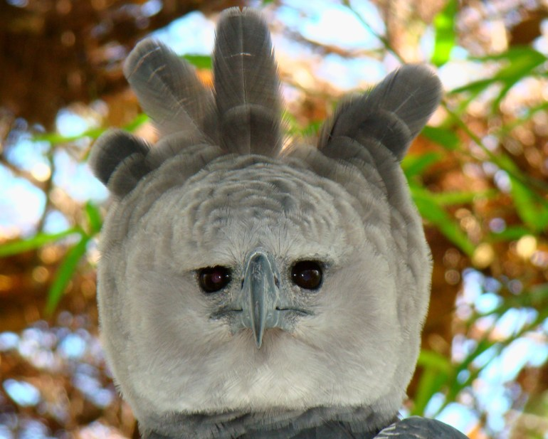 Bosawás alberga al águila harpía (Harpia harpyja), una de las águilas más grandes del mundo. La especie está casi extinta en América Central. Fotografía de Bjørn Christian Tørrissen mediante Wikimedia Commons (CC BY-SA 3.0).