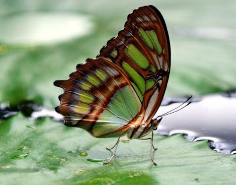 mariposa verde